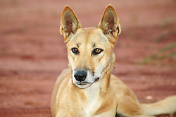 Honey, a resident dingo at Mt Hart Wilderness Lodge on the Gibb River Road, 240km east of Derby.  Dingoes (Canis lupus dingo) are the apex predator, and vital to maintaing the balance of the ecosystem.