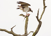 Osprey (Pandion haliaetus) with freshly killed fish. Dorset, UK. The ospreys are regular visitors to Poole Harbour in autumn as they build up strength before the long flight south to West Africa for the winter.