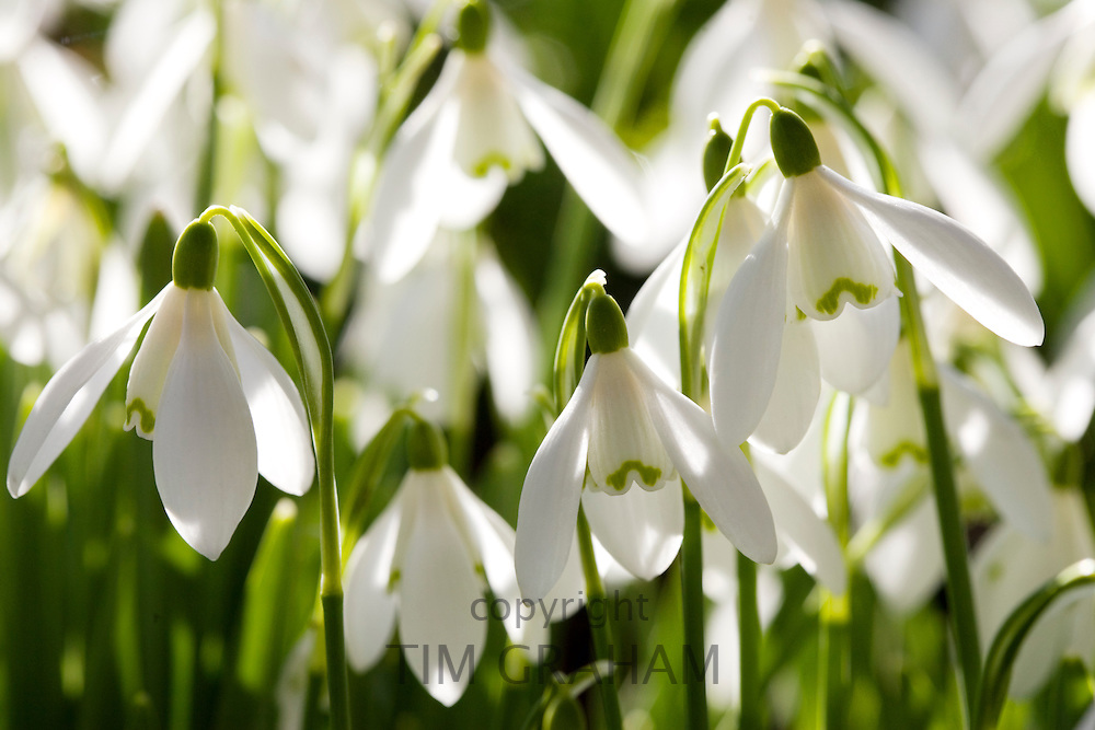 Snowdrops, Oxfordshire, England, United Kingdom