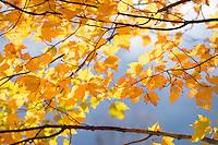 Seasonal Autumn leaves Blackwater State Park, West Virginia.