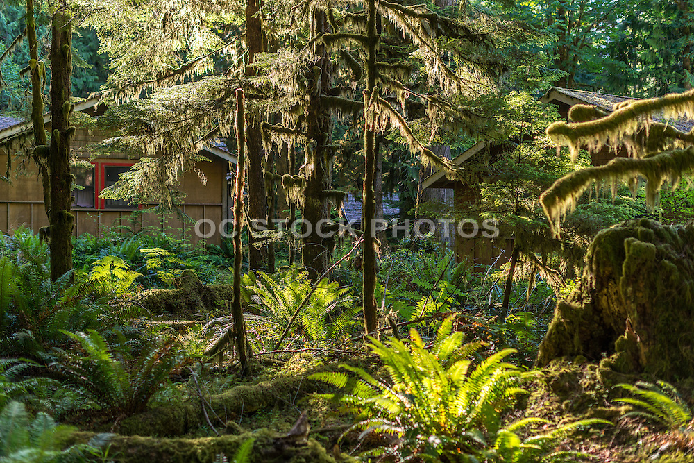 Sunlit Moss Covered Trees in the Quinault Rainforest