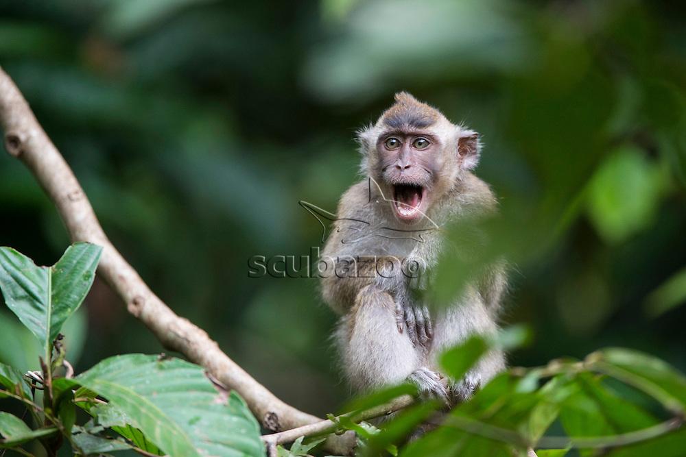 Juvenile Long Tail Macaque, Macaca fascicularis, calling from a tree, Kinabatangan River, Sabah, Borneo, Malaysian Borneo,