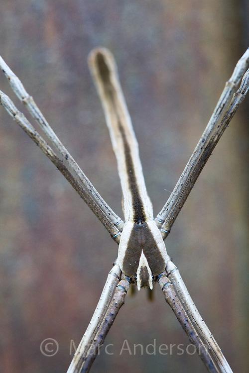 Male Net Casting Spider, Deinopis subrufa, Sydney, Australia