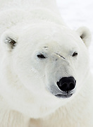 Polar Bear (Ursa maritimus) close up of face on sub-arctic Hudson Bay