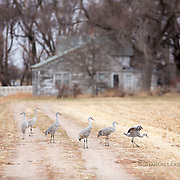 Sandhill Cranes feed and prance in front of abandoned farmhouse, rural Nebraska
