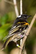 Stitchbird, Tiritiri Matangi, New Zealand