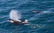 An adult and juveniles Killer whales surface off the coast of Isla de Los Estados, Argentina.