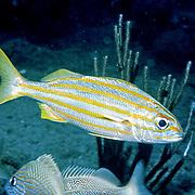 Smallmouth Grunt inhabit shallow reefs in Tropical West Atlantic; picture taken Key Largo, FL.