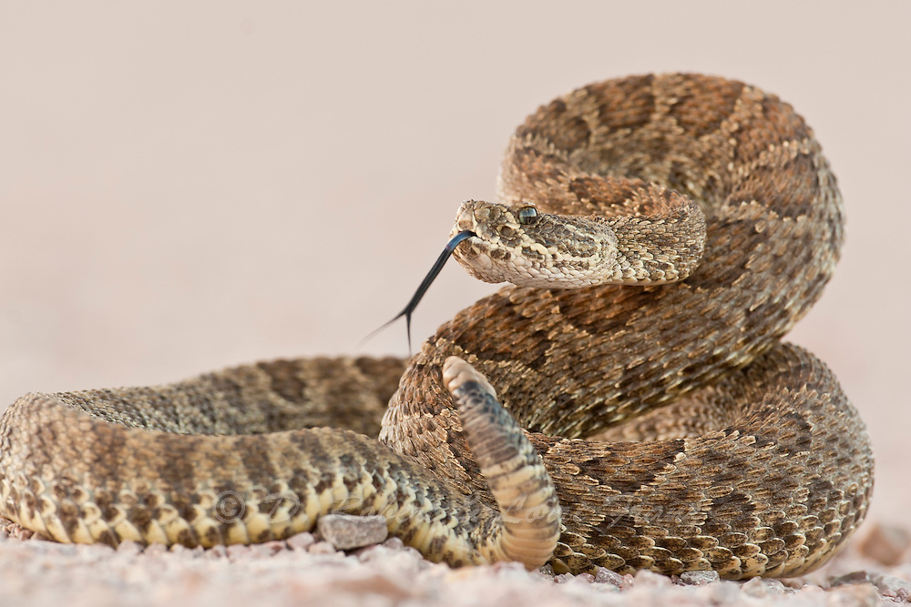 Prairie rattlesnake in Wind Cave National Park