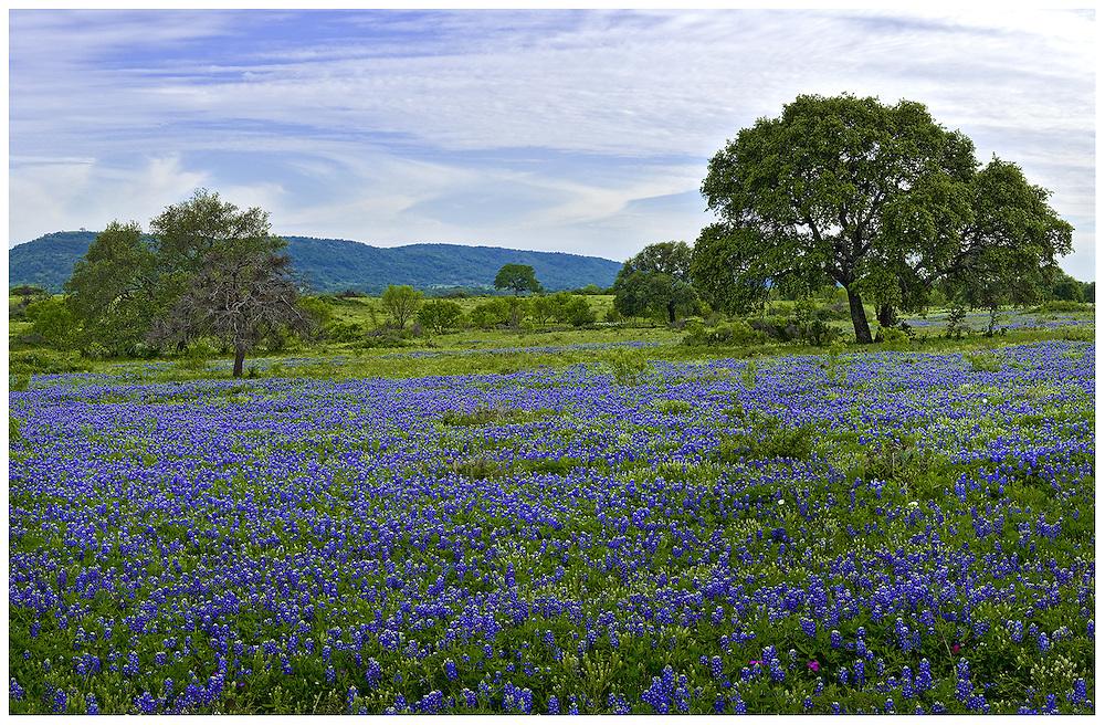 Bluebonnets (Lupinus texensis) & Live oak trees (Quercus virginiana), Llano County, TX / #HC226