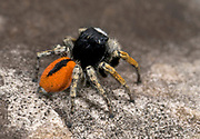 Close up profile of a male beautiful jumper spider (Philaeus chrysops) resting on a rock showing the striking black and red colouration of the abdomen. Coastal habitat, Rovinj, Croatia