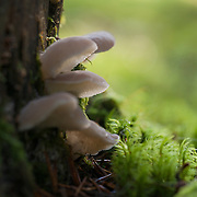 Toothed jelly fungus on a tree trunk against a light background