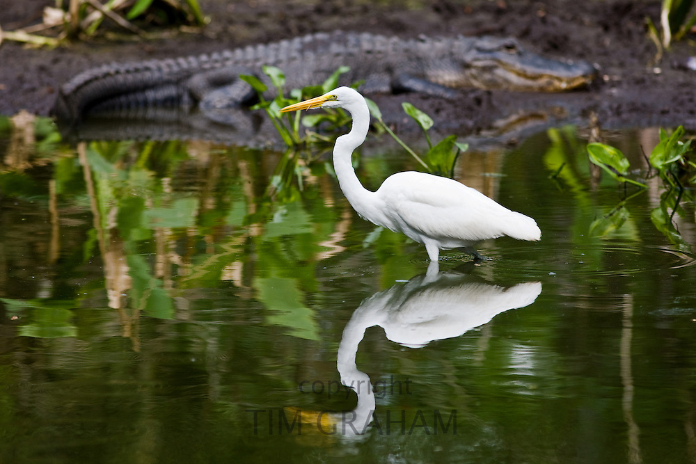 Alligator and Great White Egret at Big Cypress Bend, Fakahatchee Strand in the Everglades, Florida, USA