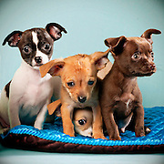 Four chihuahua puppies, 11 weeks old, are up for adoption at the Sacramento city animal shelter