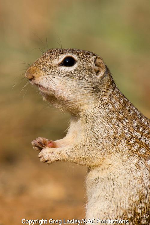 Rio Grande Ground Squirrel<br /> Ictidomys parvidens<br /> formerly known as:<br /> Mexican Ground Squirrel<br /> Spermophilus mexicanus<br /> Las Colmenas Ranch<br /> near McCook,<br /> Hidalgo Co., Texas<br /> 27 April 2006