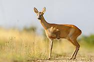 Western Roe Deer (Capreolus capreolus) female with missing front leg, on farm track, Norfolk, UK.