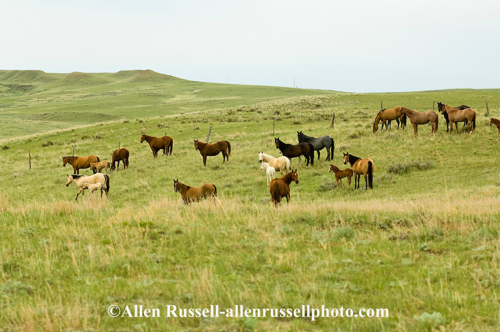 Quarter Horses, mares and foals<br /> PROPERTY RELEASED