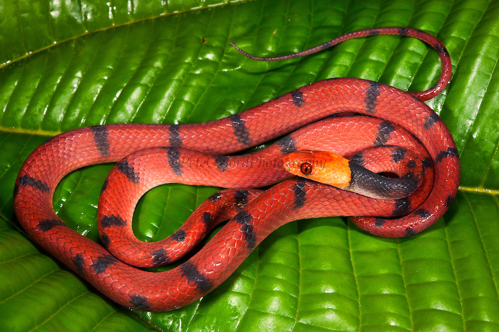 Tropical Flat Snake | http://www.peteoxford.com