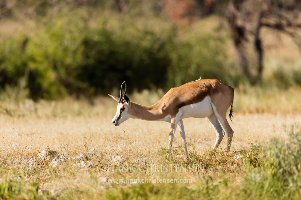 A lone springbok grazes on grass in a clearing, Etosha National Park, Namibia.