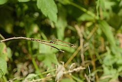 Oranje breedscheenjuffer, Platycnemis acutipennis