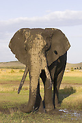 African Elephant<br /> Loxodonta africana<br /> Large bull covered in mud at waterhole<br /> Masai Mara Conservancy, Kenya