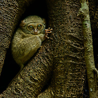 A Spectral Tarsier (Tarsius tarsier) perches outside of its roost among a network of strangling fig roots. These tiny nocturnal primates live in small family groups and emerge every evening to hunt for insects. North Sulawesi, Indonesia.