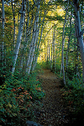 Trees. Trails. White Birch and yellow leaves provide a lovely fall canopy.  Zealand Trail, NH