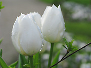 White Tulips with Dew Drops