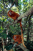 Each pair of Golden Lion Tamarins will establish a familiy group where mother and father live together with their offspring of the previous two to three years. | Jedes Löwenäffchen-Paar gründet eine Familie, in der Vater- und Muttertier gemeinsam mit ihrem Nachwuchs der jeweils letzten zwei bis drei Jahre zusammen leben.