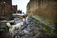 ITALY, POMPEII : Stray dogs are seen in the archeological site of Pompeii on December 1, 2010. The archeological site on the slopes of mount Vesuvius, 20 km from the city of Naples, is one of the most famous in the world visited everyday by more than 5000 tourists.<br /> AFP PHOTO / ROBERTO SALOMONE