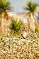 Burrowing owl at Jaguaruna Beach. Jaguaruna, Santa Catarina, Brazil. / <br /> Coruja buraqueira na Praia de Jaguaruna (Balneário Arroio Corrente). Jaguaruna, Santa Catarina, Brasil.