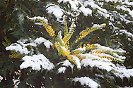 Deels met sneeuw bedekte bloeiende mahonia. Partly snow-covered flowering Mahonia.