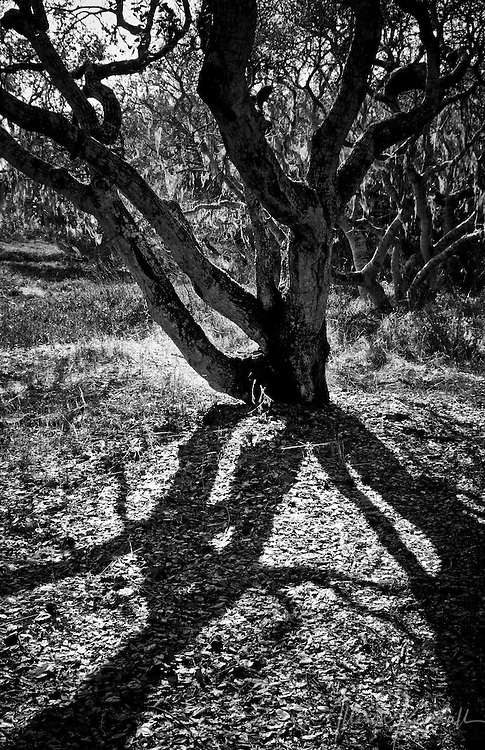 The dramatic branches of a coast live oak tree cast deep tangled shadows fine art photography, art photography, fine art, prints, photo print, fine art prints, photography art prints,