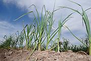 Garlic grows at Agua Linda Farm, all natural, organic growers, Amado, Arizona, USA.
