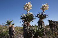 Giant Dagger Yucca, (Yucca faxoniana), at Big Bend National Park, Texas.