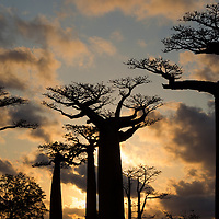 Coucher de soleil à l'allee des baobabs, Sunset in baobab alley, Madagascar