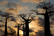 Coucher de soleil à l'allee des baobabs, Sunset in baobab alley, Madagascar