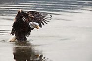 Bald Eagle cleaning in Chilkat River in the Chilkat Bald Eagle Preserve in Haines in Southeast Alaska. Winter. Morning.