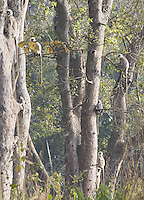 A group of Nepal Grey Langurs (Semnopithecus schistaceus) in sal forest, Bardia National Park, Nepal