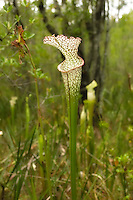 The elegant and beautiful white-topped pitcher plant growing in a Liberty County seepage bog. This location is possibly the easternmost population in Florida.