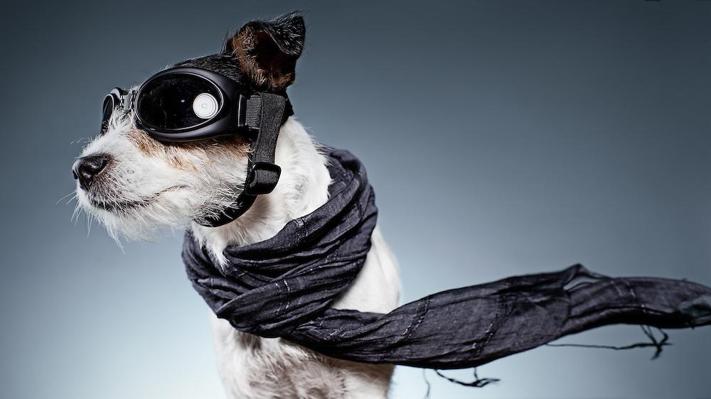 LA Dog photographer, LA headshots, Jack Russel, studio photographer, animal photographer,Dog photographer, dog pictures, funny dog,