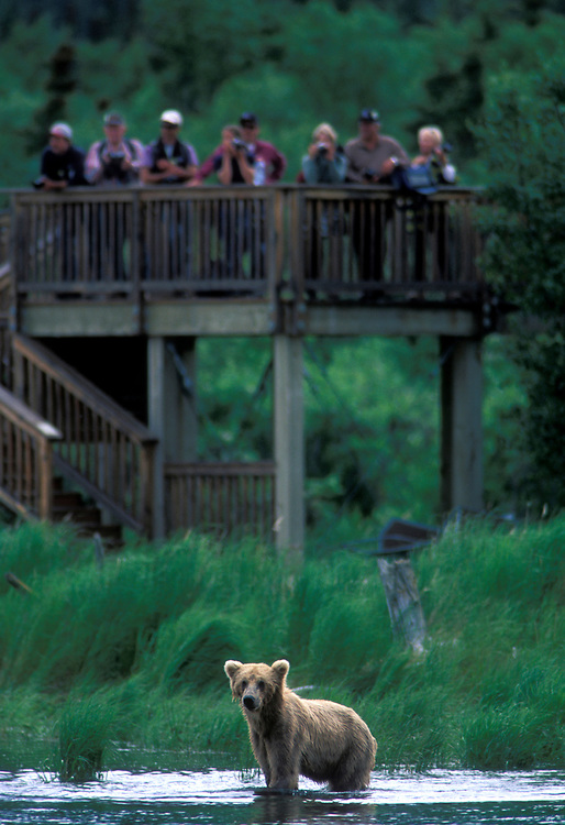 USA, Alaska, Katmai National Park, Tourists on platform watch passing Grizzly Bear (Ursus arctos) in Brooks River