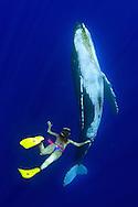 Humpback whale (Megaptera novaeangliae) . Pacific Ocean. Hawaii.