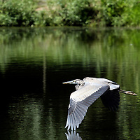 A Great Blue Heron, Ardea herodias, flying over a pond. New Jersey, USA, North America