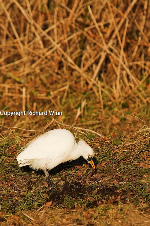 Cattle egret digging up a worm from the collection of material just dredged from the North Drain at Shapwick Heath.