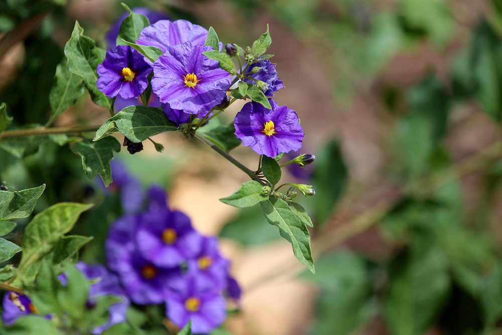 Solanum rantonnetii (Species: Lycianthes rantonnetii),  flowering plant in the family Solanaceae. It is native to Brazil, Bolivia, Argentina and Paraguay.Cultivated as ornamental the worldwide