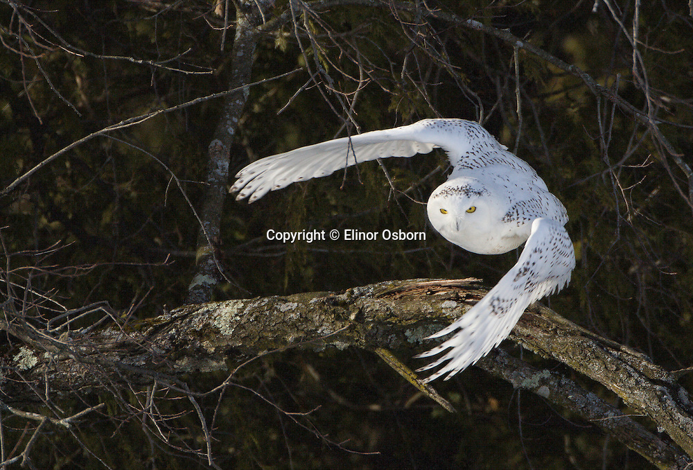 Snowy Owl flying from forest edge