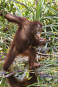 Bornean Orangutan <br /> Pongo pygmaeus<br /> Young male eating vegetation from water<br /> Tanjung Puting National Park, Indonesia