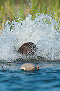 "A chocolate Labrador retriever retrieves a ""training dummy"" from a pond."
