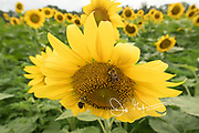 Bumble bees harvest pollen from a sunflower.